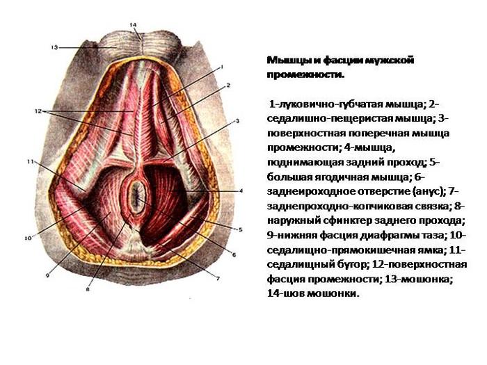 Мышцы мужской промежности