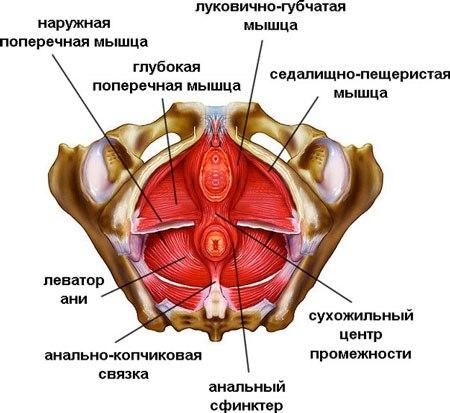 Мышцы женской промежности